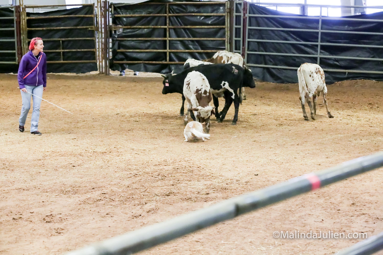 Herding Thur 30C Course A Cattle Reese Erin-JJJ_4242-HR3