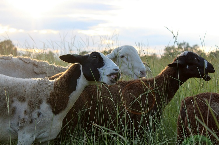 sheepgraze1